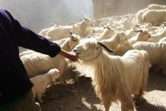 Herding goats! India, 2013.