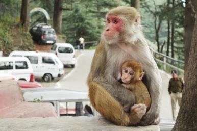 Monkeys, India 2013.
