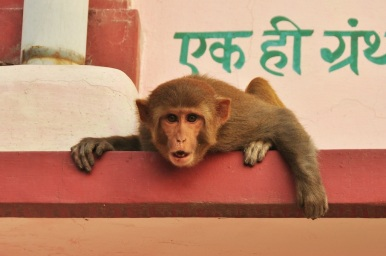 A crying monkey, India 2013.
