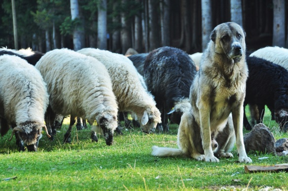 These sheep herding dogs are very common in both Georgia and Turkey, and though they can be vicious when they are on duty, they are sweet cuddly bears the rest of the time!