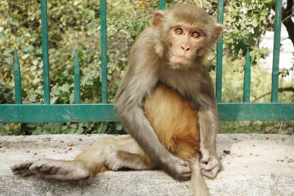 One of the many playful monkey who intertained me in Nepal. Many of them were so tame (since they know humans equals food) they would sit on a bench with you.
