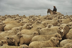 Swimming in a sea of sheep.