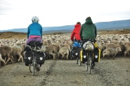 Cycling through the sheep... again.