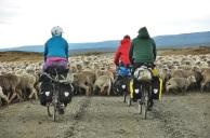 Cycling through the sheep... again.