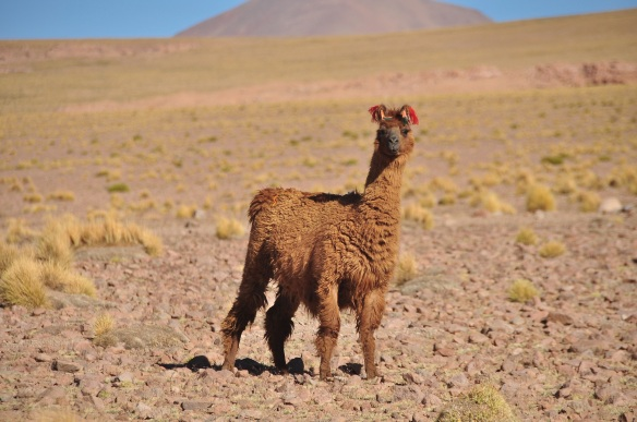 The llamas all have their ears tagged with different colors so when they wander, the humans know whose is whose.