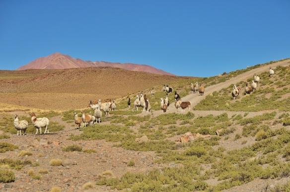 Llama llamas everywhere.
